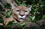 cougar-on-the-prowl-1253662-m