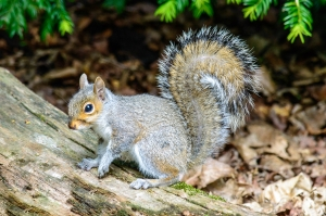 gray-squirrel-on-a-log-1446406-m