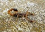 scorpion-1315063