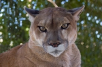 mountain-lion-1370392