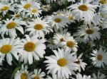 daisies-1479802
