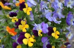 pansy-1398202