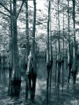 cypress-sentries-duotone-1457769