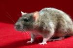 rat-1343687