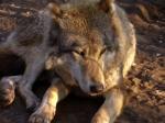 wolf-1357366
